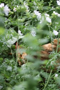 Chickens in the herbs