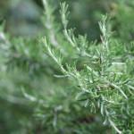 Rosemary close up