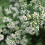 Mint in flower
