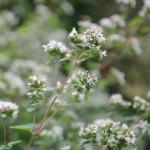 Thyme in flower