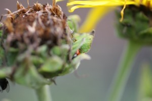 Ladybird in seed head