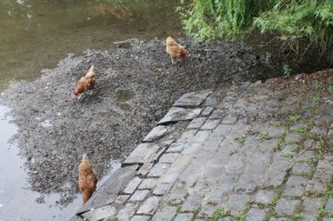 Chickens scratching in gravel by the mill pond