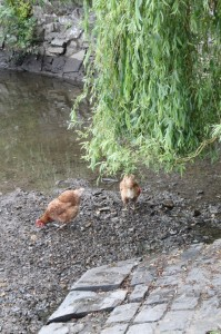 Chickens beside the mill pond