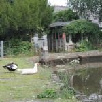 Ducks beside the mill pond