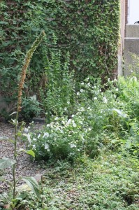 White flowered herbs