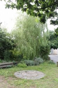 Willow in the herb garden